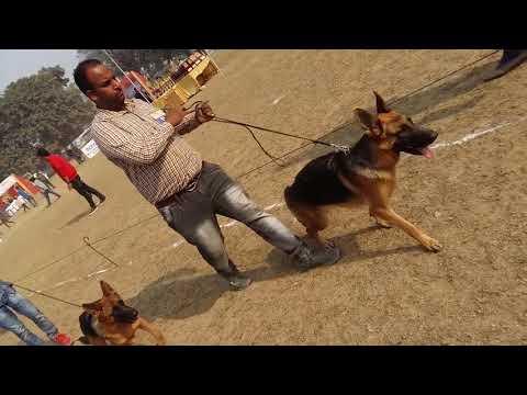 Special German Shepherd Dog Show - Bhola Shola
