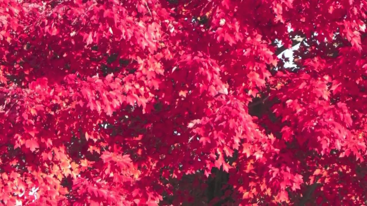 Red Sunset Maple Trees For Sale Youtube