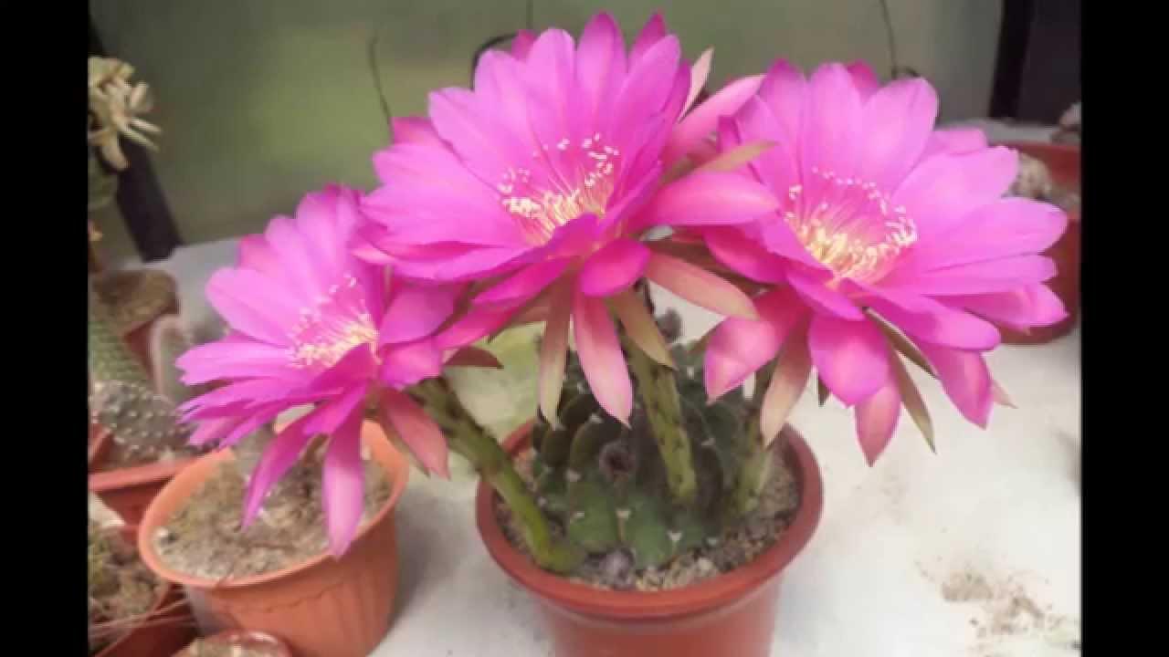 Cactus, Cactus, Cactus. Más Flores De Cactus Cultivados