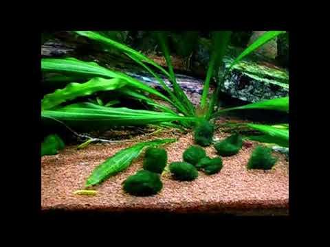 Mein Aquarium (43) Mooskugel, Aegagropila linnaei / Marimo Plant Care , schön in jedem Aquarium