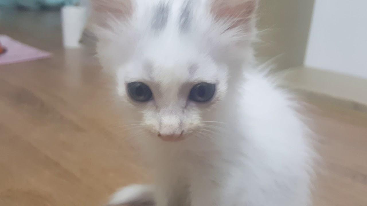 Turkish Angora Cat Kitten Short Hair D 45 4 Youtube