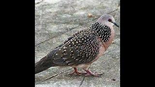 Tiếng chim cu gáy kích bổi