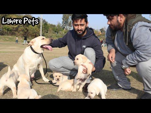 Labrador puppies available – Dog show rawalpindi – Lahore Pets