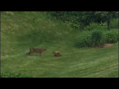 Bobcat vs Groundhog