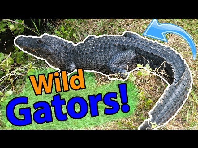meet-the-american-alligator