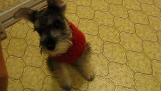 Miniature Schnauzer Suga - Training