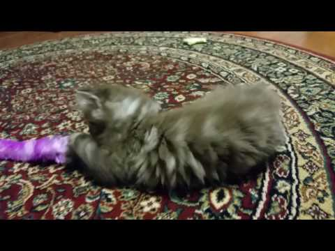 Sable classic tabby male RagaMuffin kitten