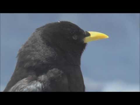 Alpine Choughs Pyrrhocorax graculus