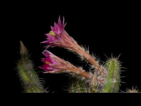 time-lapse-echinocereus-scheeri,-mexico,-chihuahua,-moris-(4k)