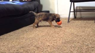 Border Terrier Puppy Vs. Squeaky Toy 2