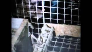 Hodgson's Mink Farm | Ontario, Canada | undercover footage