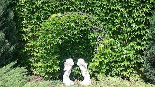Виноград Виче. ТОП самых популярных растений в наших садах