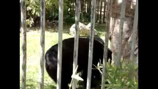 Andean Bear Porn