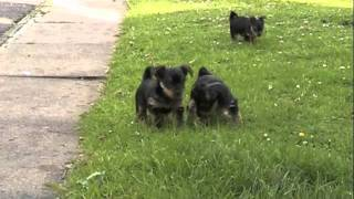 Yorkshire Terrier Puppies Playing In The Sun