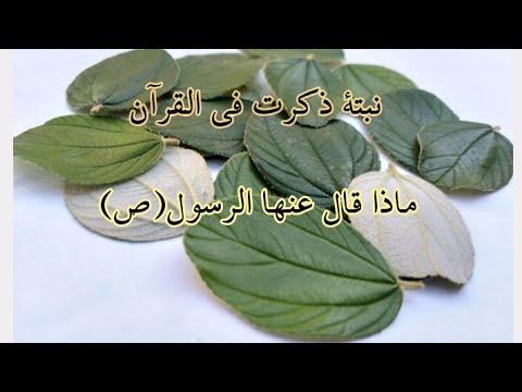 فوائد-أوراق-السدر-التي-ذكرت-في-القرآن-و-فوائدها-الكثيرة