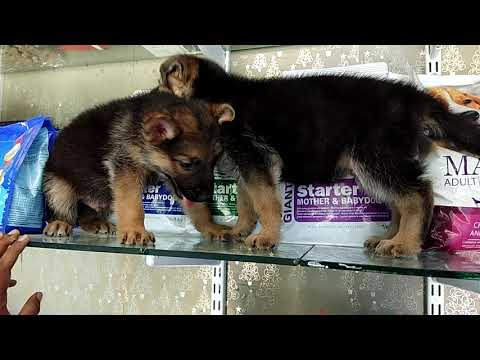 Stock clearance sale 3500,5000,8000 German Shepard, Labrador and Rottweiler