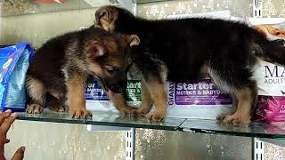 German  Shepard 3500, Labrador 4500 and Rottweiler 6000 starting price of female puppies..