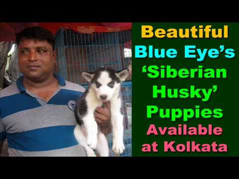 Exclusive : Original Blue Eye's  Siberian Husky Puppies : Galiff Street Pet Market
