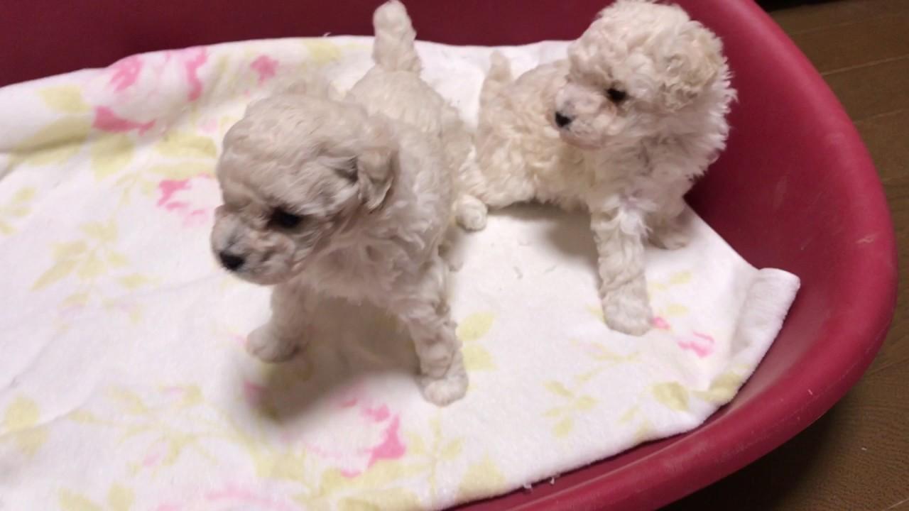 トイプードル子犬生後1ヶ月♡