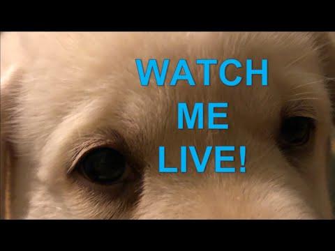 LIVE STREAM -  Lab Puppies on their 5 week birthday!