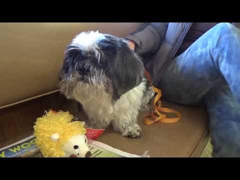 Please Foster/Adopt Bubbie! Shih Tzu 8 yr. !