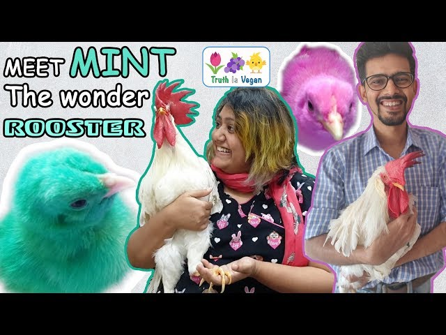 MINT the wonder ROOSTER!