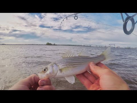 Searching The DELAWARE River For STRIPED BASS! (bycatch)