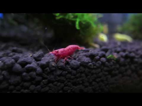The beauty of Red Cherry shrimp