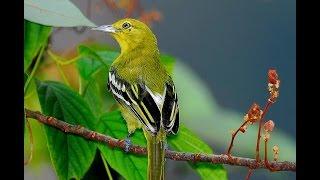 Suara Burung Cipoh Sirtu