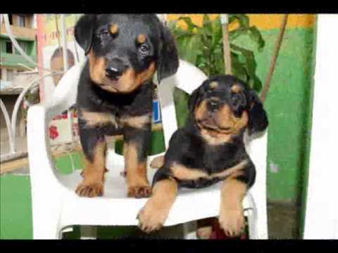 rottweiler 4 meses ( Desarrollo de un rottweiler de 1 a 4 meses )