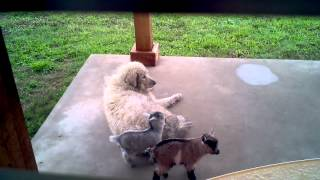 Baby goats using dog as a playscape thumbnail