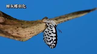 主要分布於中、南部山區,局部地區出現,不普遍,成蟲喜歡吸食冇骨消、...