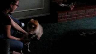 Pomeranian Vs Pug, Prettty Funny