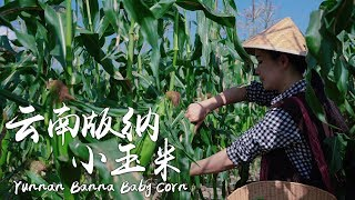 Banna Baby Corn  A fresh delicacy available in Yunnan throughout the year