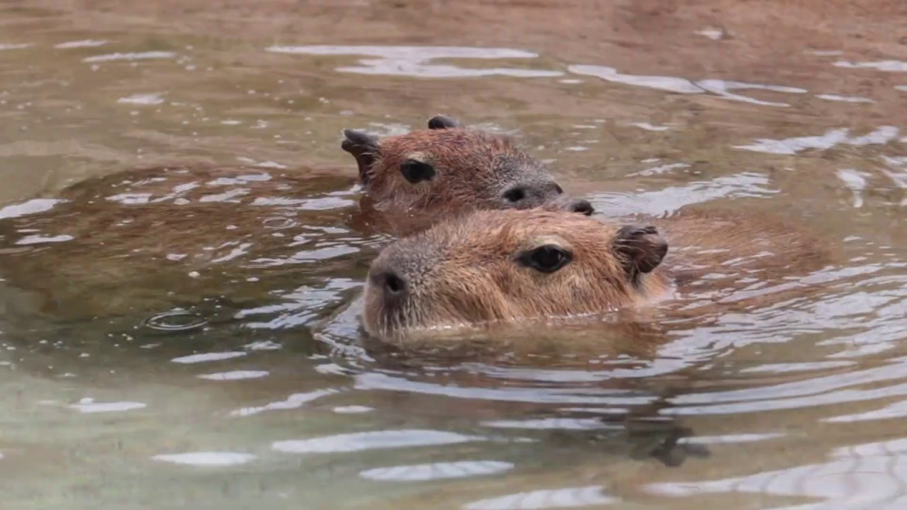 Capybaras Swimming - SANTA BARBARA ZOO - YouTube