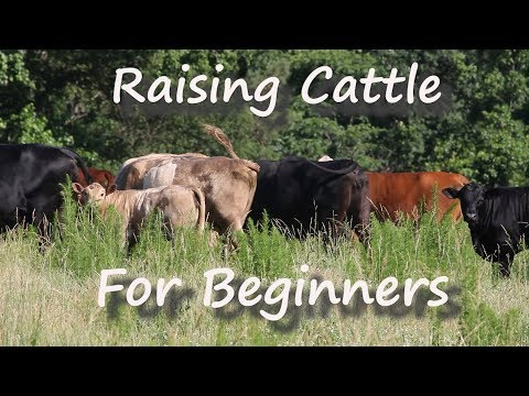 Raising Cattle for Beginners