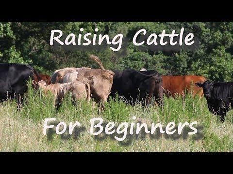 Raising Cattle For Beginners