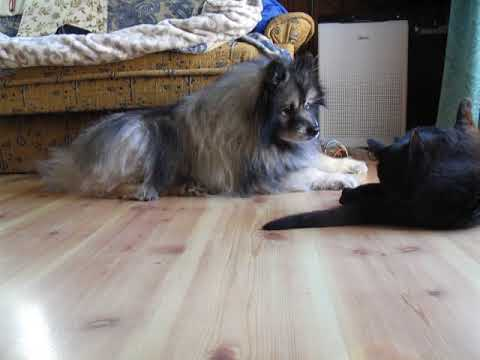 Keeshond Hunk and stray cat