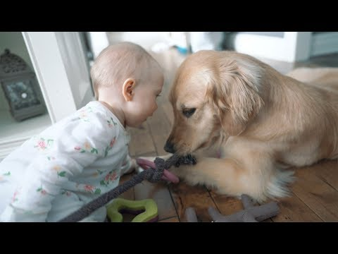 Golden Retriever And Baby Fighting Over Toys ❤️