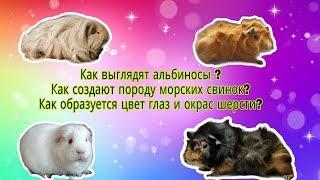 Svinki Family Blog: Породы морских свинок/окрас шерсти,цвет глаз/морские свинки Альбиносы