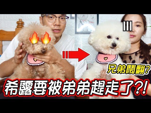 【寵物溝通】愛犬兄弟竟鬧不合 要對方滾出家門 直播打架的真正原因居然是...【希露弟弟啃雞腿】Bichon Frise Poodle 비숑 푸들 ビション プードル