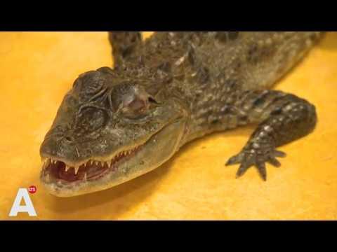 Amsterdammer brengt huisdier naar opvang: 'Hij dacht niet dat zijn krokodil zo groot werd'