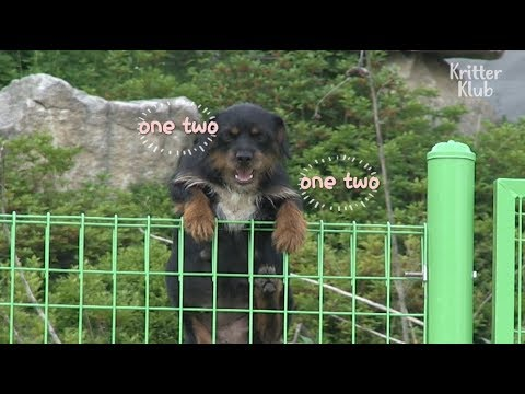 Pregnant Dog Escapes Over A Huge Fence To Follow Her Owner | Kritter Klub