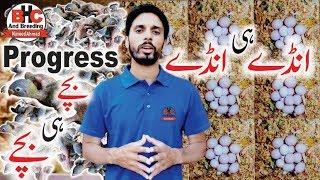 Lovebirds Ki Progress Season 2018 | Red Eyes Love Birds Ki Breed Video Urdu/Hindi