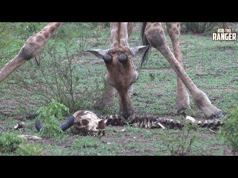 Rare Footage Of 'Scavenging' Giraffe Herd Feeding On A Buffalo Skeleton! | Amazing African Wildlife