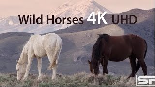 Wild Mustang Horses of the American West, 4K Ultra HD