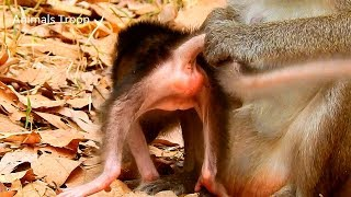 Mom check and clean baby buttock, Mom care about her newborn monkey