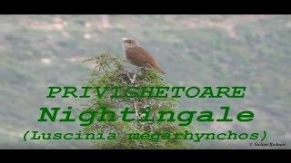 Download PRIVIGHETOARE  Nightingale  (Luscinia megarhynchos)