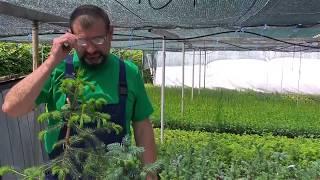 Відео урок № 3.  Прививка хвойних рослин. Прищипка, обрізка.