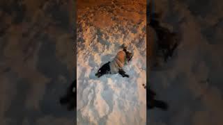 Зимние развлечения. Кувыркания в снегу. Русский спаниель Стеша